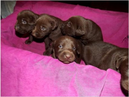 Chocolate lab puppies for sale. AKC, OFA. Ready for Christmas