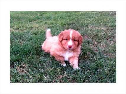 صور Nova Scotia Duck Tolling Retriever Puppy 1