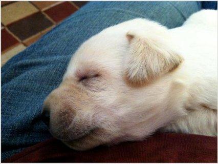 Akc Yellow Labrador Retriever
