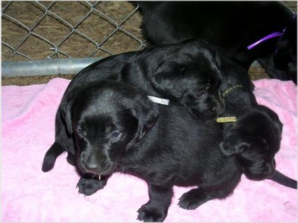 Akc Black and Yellow Labrador Puppies