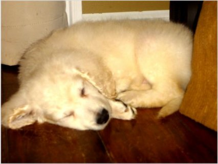 Beautiful F2b Mini Male Goldendoodle Puppy Ready to go home now