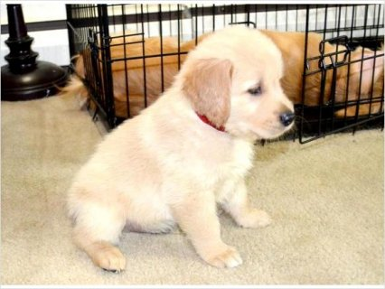 Adorable AKC Golden Retriever Puppies Male And Female