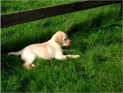 Cute AKC Golden Retriever Puppies Ready To Go