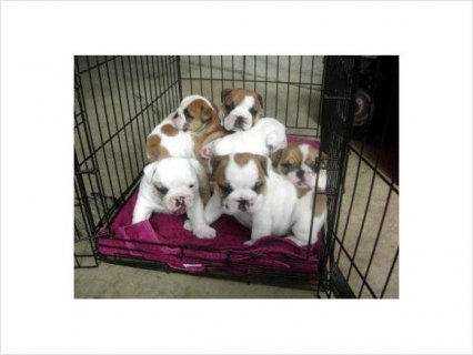 Outstanding English Bulldog Puppies AVAILABLE