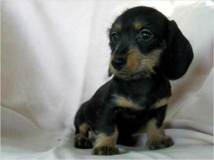 Akc Miniature Dachshund pups