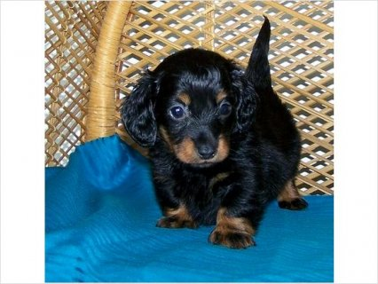 Akc Active Dachshund Puppies for Family Playmate, make them your