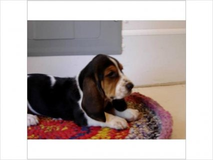 Pretty BASSET HOUND PUPPIES BEAUTIFUL & CUTE