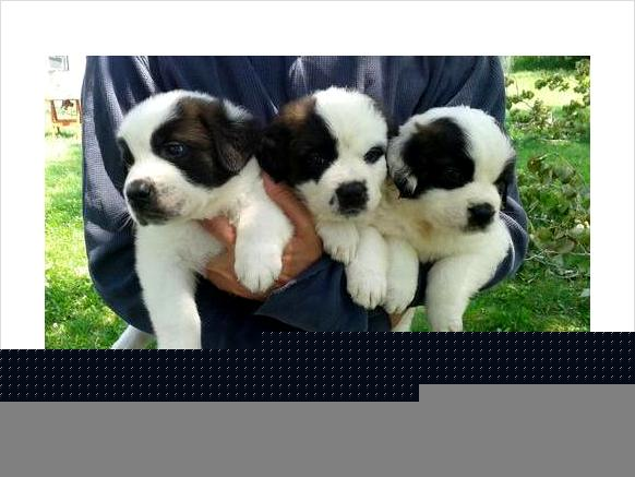 صور Male and Siberian husky pupies for rehoming 1