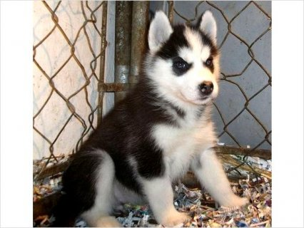Healthy male and female Siberian husky puppies for a new home