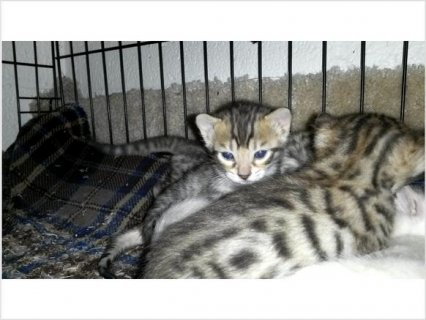 Bengal kittens - Videos in decription with new pictures