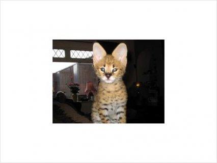 F1 Savannah Kittens Availanle