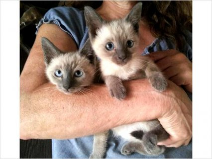 Blue Siamese Kittens