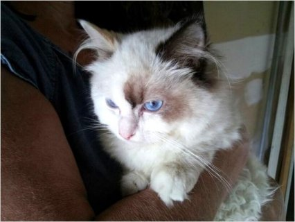 Ragdoll: Tortie female born on 5/17/2013