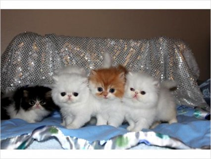 C.F.A. registered Persian kittens