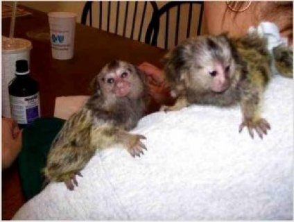 Marmoset Monkeys Available For Free Adoption