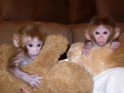 صور Cute Capuchin Monkeys for Adoption 1
