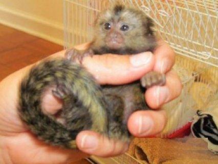 Baby marmoset monkeys for adoption