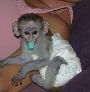 صور Charming Baby Capuchin Monkey For Adoption text me  1