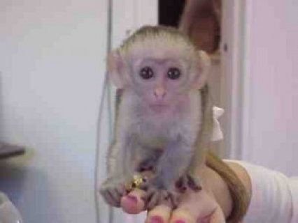 Healthy Capuchin monkeys for free