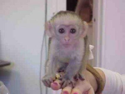 Healthy Capuchin monkeys for free