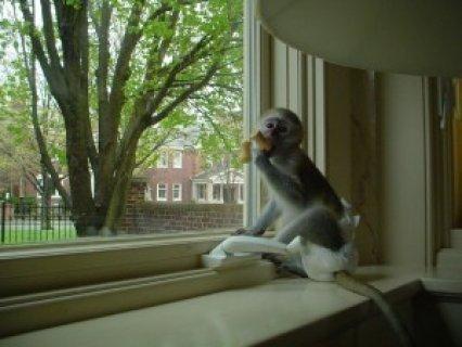 i have female capuchin monkey for adoption