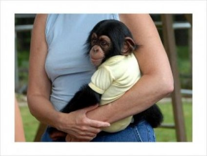 Available Now Male And Female Baby Chimpanzee