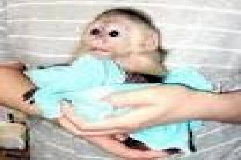 Lovely Capuchin monkeys for adoption