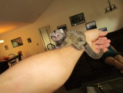 Charming Marmoset Monkey Available