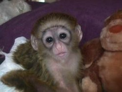 Healthy Capuchin & Marmoset Monkeys Available