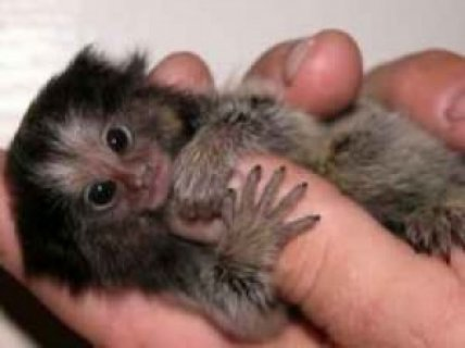 صور Healthy Capuchin & Marmoset Monkeys Available 2