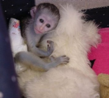 Charming Female Capuchin Monkey Ready for Adoption