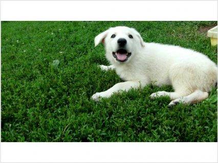 White German Shepherd Pups
