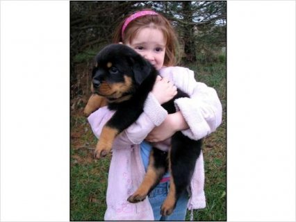 Beautiful German Rottweiler Puppies avail
