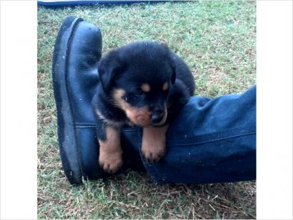 صور Akc German Rottweiler puppies CH bloodlines 1