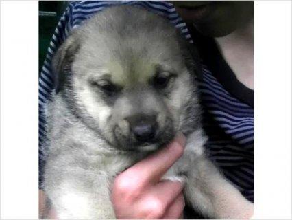 Shepard/Chow/Boxer/Mastiff mix puppies