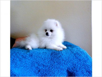 Teddy Bear Face White pomeranian puppies for sale