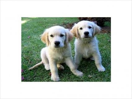 Regs Golden Retriever Puppies