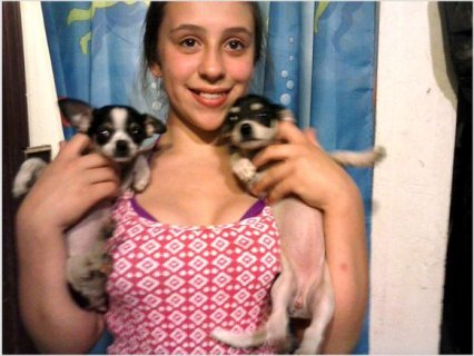 Chihuahua Puppies: female smooth coats
