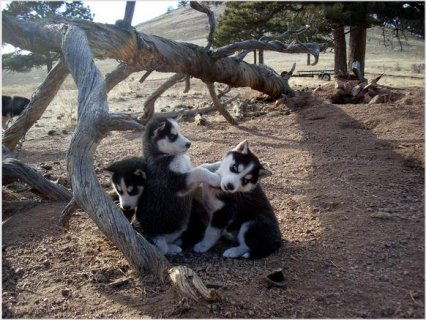 Siberian Husky puppies champion blood lines black/white blue eye