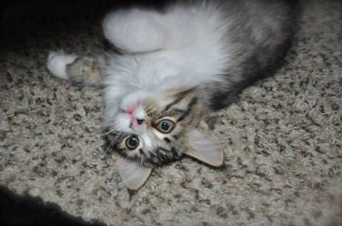 1Male and 1 Female Siberian Kittens For Rehoming