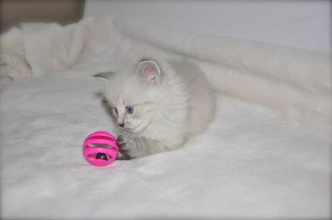 2 Male and 1 Female Siberian WHITE Kittens For Rehoming