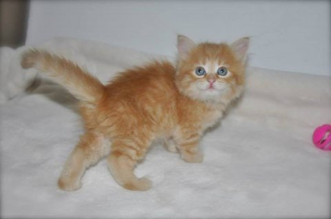 Giving Male and Female Siberian Kittens For Rehoming.