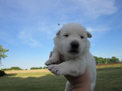 2 White German Shepherd Pups