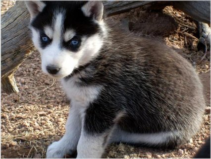 صور Siberian Husky Puppies  1