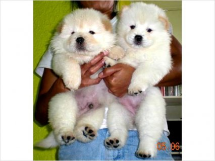 White Chow Puppies