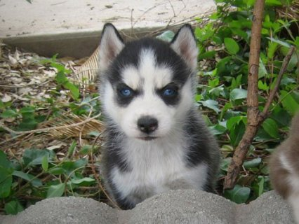 Lovely Siberian Husky Puppies Available