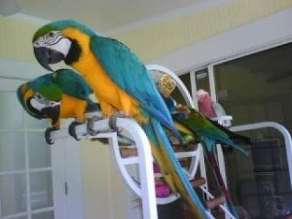 Blue and Gold Macaw Breeding Pair