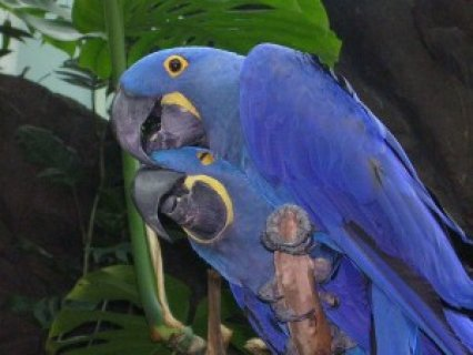 Hyacinth Macaws for Adoption