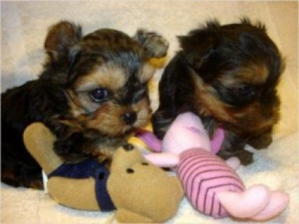 Charming and Cute Yorkie Puppies for Sale