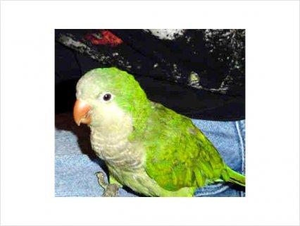 Quaker aka Monk Parrot